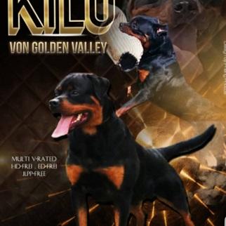 CKC Reg  English bulldog and Rottweiler puppies | Vancouver