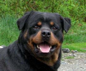 Cramatte Kennels Stud Dogs Availible English Bulldog Rottweiler